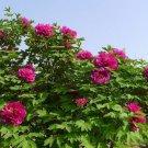 Tree Peony 5 seeds Paeonia suffruticosa Ornamental Shrub Rose Flower *SHIPPING FROM US* CombSH M74