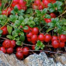 Mountain Cranberry 50 seeds Vaccinium Vitis-idaea * Wild Fruit * Edible Comb I62