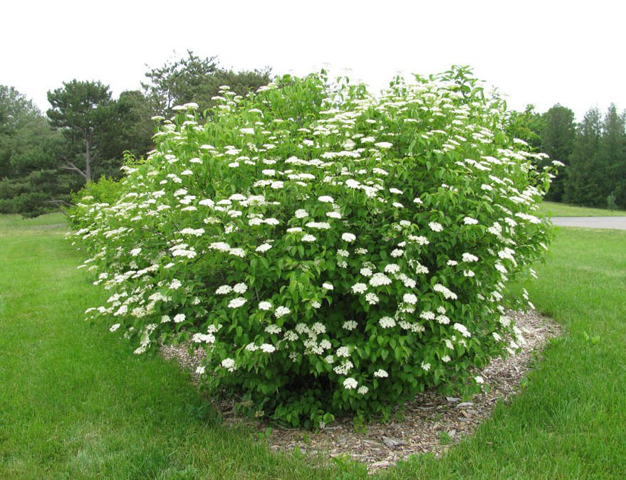25 + Southern Arrowwood seeds (Viburnum Dentatum) Ornamental Shrub *SHIPPING FROM US* CombSH I86