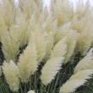 White pampas grass Cortaderia selloana 50 seeds * Showy * Ornamental * E47