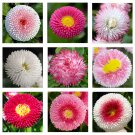 English Daisy Double Mix 500 seeds * Elegant * Beautiful * Cut flower *SHIPPING FROM US* CombSH A67
