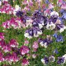 Dwarf Columbine mix color Aquilegia vulgaris 250 seeds *  *SHIPPING FROM US* CombSH I34