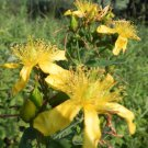 Great St. John's wort  2000 seeds hypericum pyramidatum *SHIPPING FROM US* CombSH D68