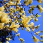 5 Magnolia champaca seeds * Fragrant *  Ornamental Tree *SHIPPING FROM US* CombSH M56