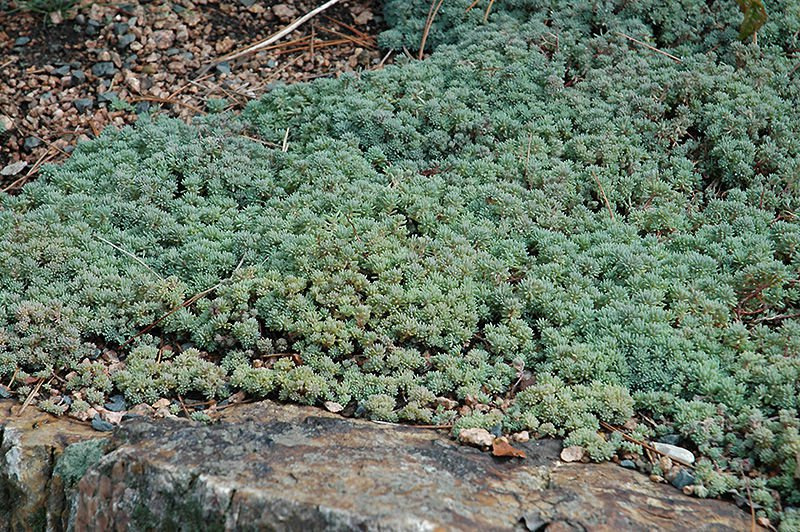 Sedum Hispanicum 30 seeds  Spanish Stonecrop ground cover succulent  *SHIPPING FROM US* CombSH D44