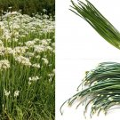 Garlic Chives 250 seeds  Herb  * Allium Tuberosum  * ez grow * *SHIPPING FROM US* CombSH E52