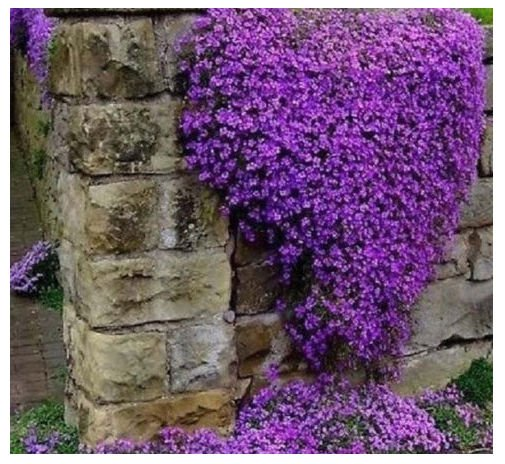 300 Aubrieta seeds  Cascade Purple Flower Rock Cress seeds CombSH A38