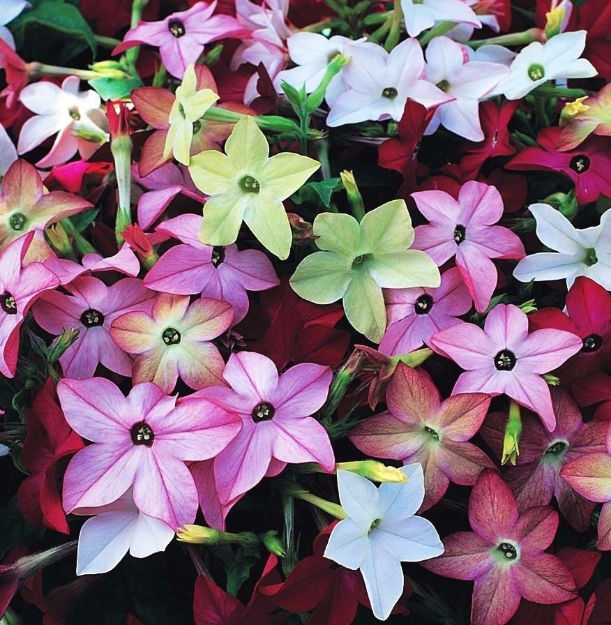 Flowering Tabacco Sensation Mix 500 seeds * fragrant * *SHIPPING FROM US* CombSH D87