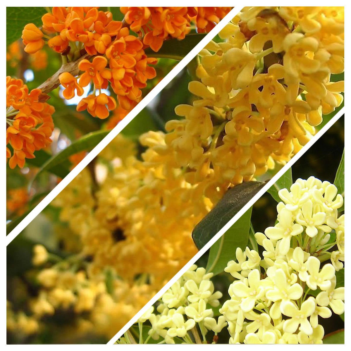 5 Osmanthus fragrans Sweet Olive MIX seeds one of the most fragrant tree *SHIPPING FROM US* CombSH