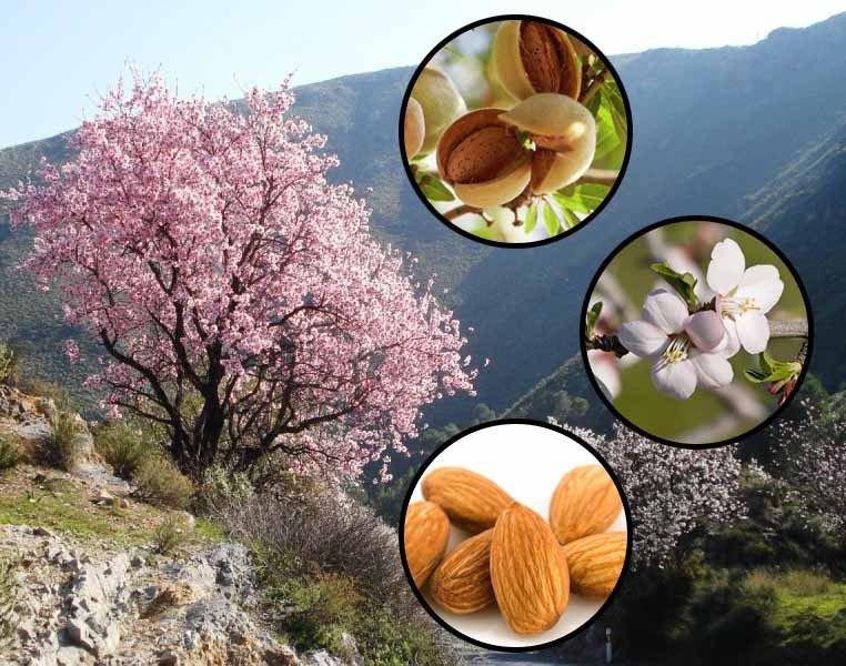 Sweet Almond Tree Prunus dulcis var. dulcis 5 seeds  * Bonsai *Nut Tree*  *SHIPPING FROM US* CombSH
