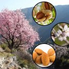 Sweet Almond Tree Prunus dulcis var. dulcis 5 seeds  * Bonsai *Nut Tree*  *SHIPPING FROM US* CombSH