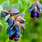Blue Shrimp Plant Cerinthe Major 5 seeds * showy * Beautiful * *SHIPPING FROM US* CombSH A55