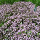 500 Wild Creeping Thyme seeds  WALK ON ME Thymus serpyllum Herb Flower CombSH