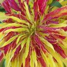 Amaranthus Tricolor Perfecta 100 seeds * Eye catching * Showy * E48