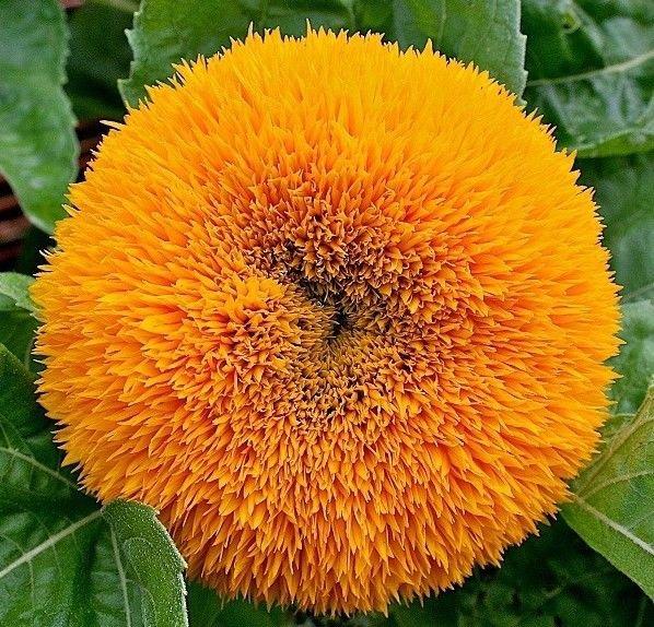 Sunflower Dwarf Teddy Bear 50 seeds * HEIRLOOM * Cute Garden Flower * *SHIPPING FROM US* CombSH J22