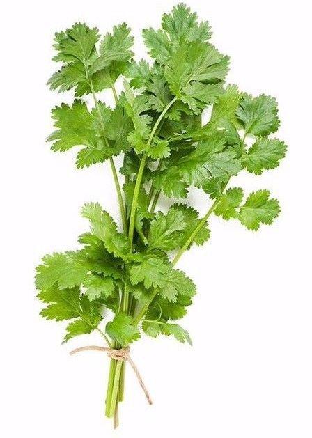 Cilantro/Coriander Slow bolt 250 seeds ( Coriandrum sativum ) * herb *SHIPPING FROM US* CombSH H24