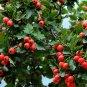Chinese hawthorn 10 seeds Crataegus pinnatifida tree Edible Hardy *SHIPPING FROM US* CombSH M52
