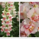 Snapdragon Appleblossom Antirrbinam majus 100 seeds  *easy grow *SHIPPING FROM US* CombSH A75