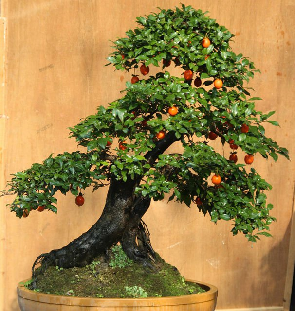 Diospyros  cathayensis 5 seeds Bonsai / Tree  Fruit is edible  *SHIPPING FROM US* CombSH M71