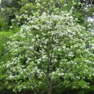15 Flowering Dogwood seeds Cornus florida  Ornamental *SHIPPING FROM US* CombSH M65