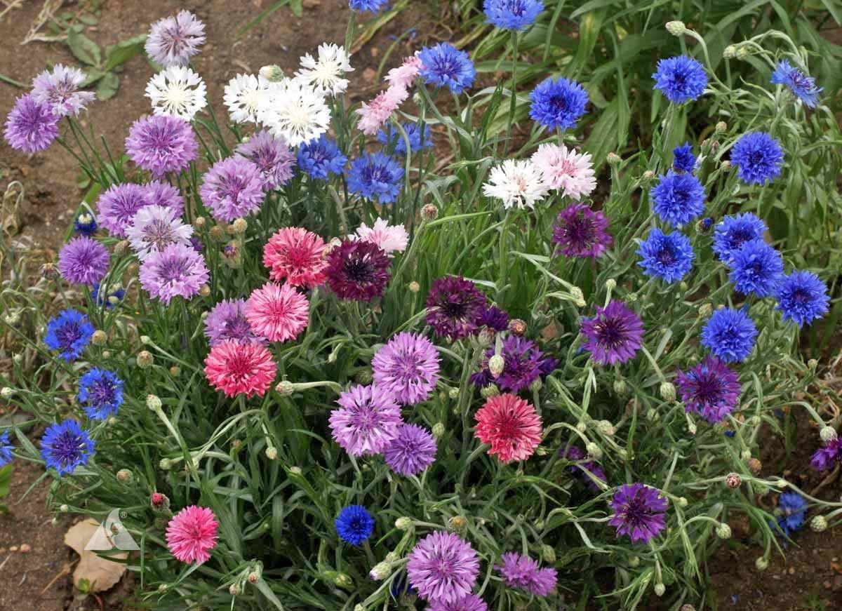 500 Cornflower Tall Mix  (Centaurea cyanus) seeds Colorful CombSH M33