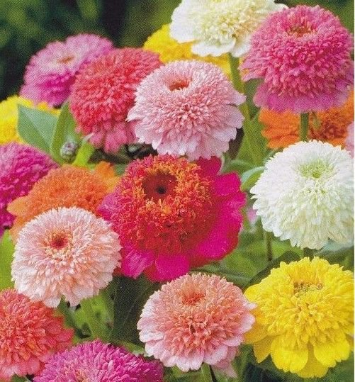 Zinnia Scabiosa Flowered Mix 100 seeds * Unusual form* Cut Flower * *SHIPPING FROM US* CombSH D35