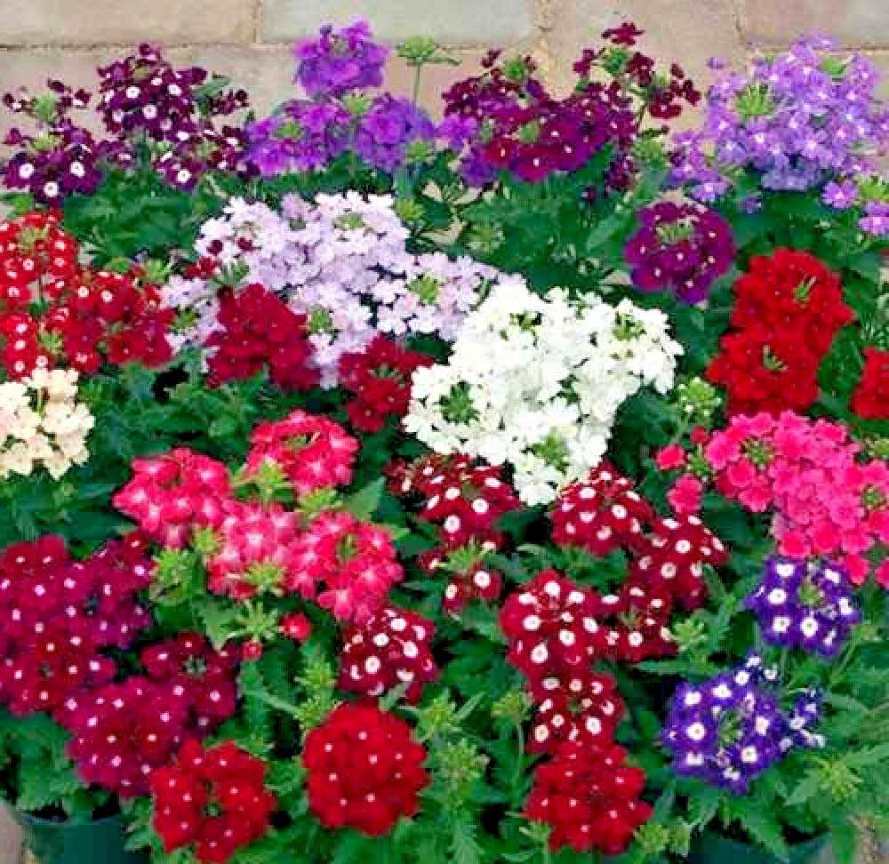 Verbena Ideal Florist Mix 100 seeds  Garden Flower *SHIPPING FROM US* CombSH I44