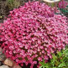 Saxifraga arendsii Rose Robe 50 seeds *SHIPPING FROM US* CombSH B42