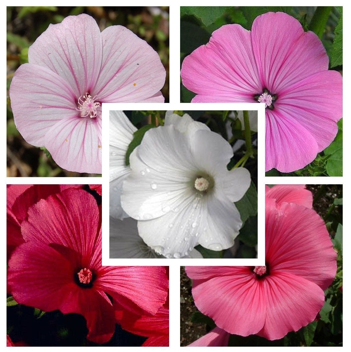 Rose Mallow Lavatera Trimestris Mix 250 seeds *SHIPPING FROM US* CombSH D71