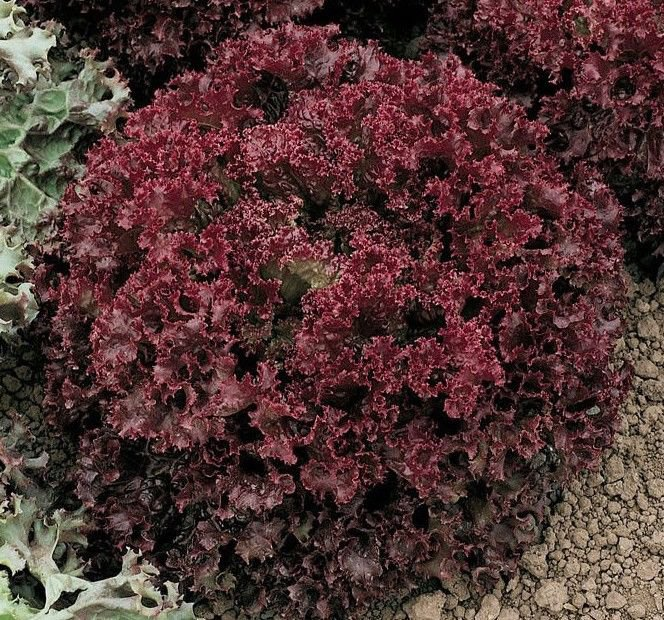 Lollo Rossa Darky leaf lettuce 500 seeds * NON GMO * ez grow * *SHIPPING FROM US* CombSH E31