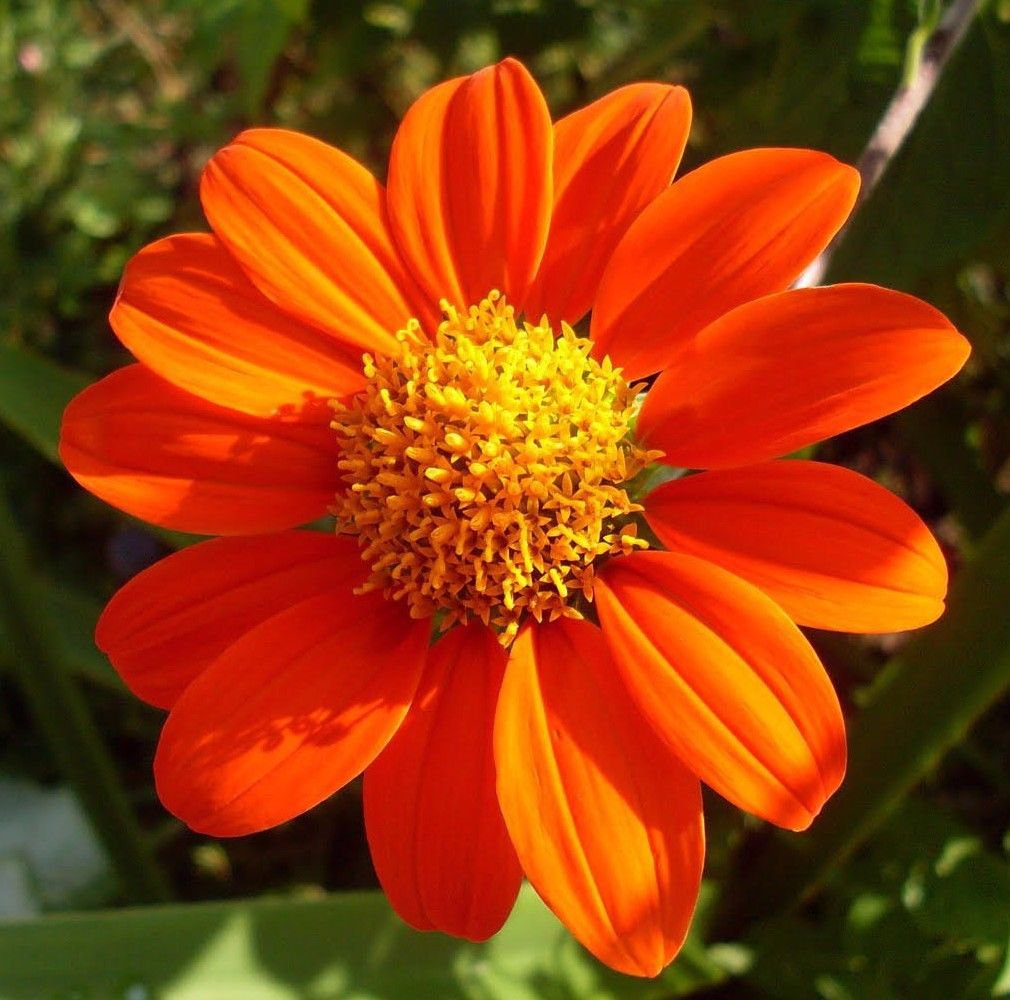 Mexican Sunflower 100 seeds Tithonia rotundifolia *Cut flower* Butterfly *SHIPPING FROM US* CombSH