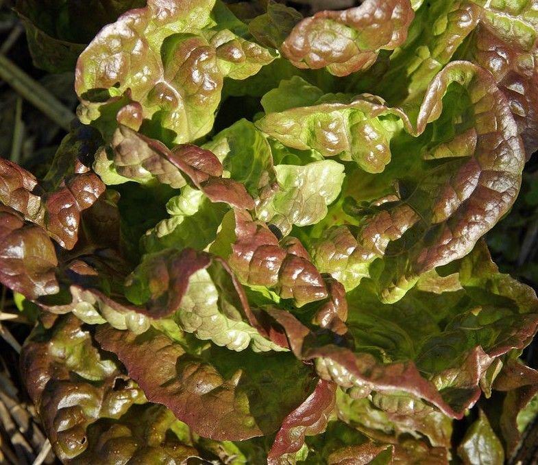 Lettuce Bronze Mignonette Lactuca sativa 3000 seeds * NON GMO * ez grow * *SHIPPING FROM US* CombSH