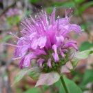 Bergamot / Bee Balm / Monarda fistulosa 250 seeds * herbs * *SHIPPING FROM US* CombSH B36