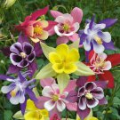Columbine Mckana's giant mix color Aquilegia vulgaris 250 seeds * *SHIPPING FROM US* CombSH A84