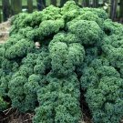 Kale Blue Curled Scotch 500 seeds * Non GMO * ez grow * E62