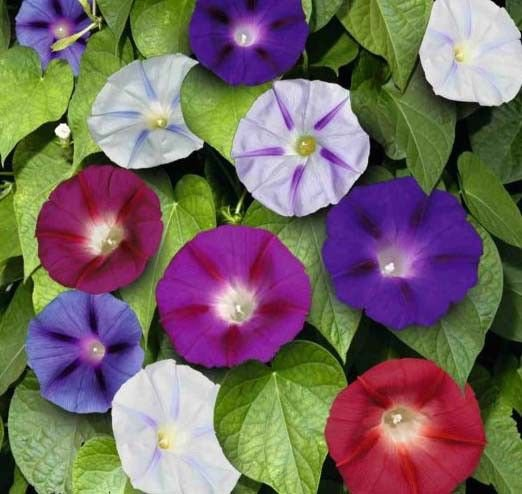 Morning Glory Mix 100 seeds * Colorful * Easy Grow *  *SHIPPING FROM US* CombSH D16