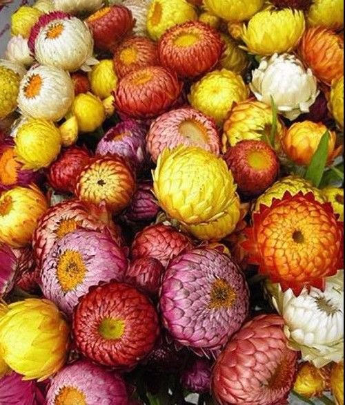 Strawflower Mix 75 seeds Helichrysum Bracteatum  *SHIPPING FROM US* CombSH D85