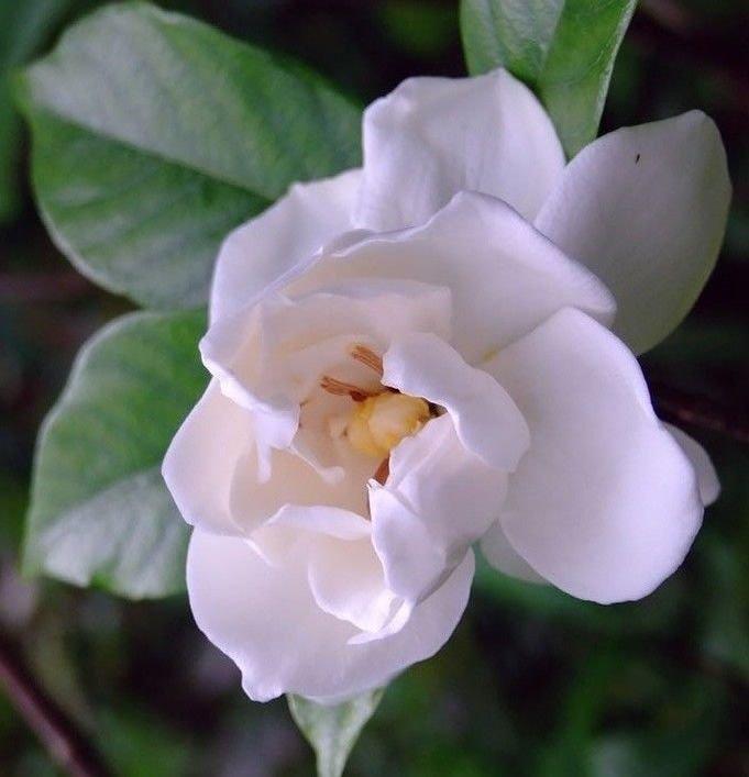 Cape Jasmine Gardenia * Fragrant * 500 seeds White Shrub Flower *SHIPPING FROM US* CombSH B26