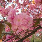 10 seeds Japanese Cherry Sakura Prunus serrulata * Bonsai * Ornamental * *SHIPPING FROM US* CombSH
