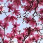 5 Lily Magnolia seeds Magnolia liliflora * Fragrant *  Ornamental *SHIPPING FROM US* CombSH M55