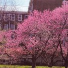 20 Eastern Redbud Tree seeds (Cercis canadensis)Ornamental Showy *SHIPPING FROM US* CombSH