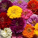 Zinnia Dahlia Flowered Mix 250 seeds * Cut Flower * Beautiful * *SHIPPING FROM US* CombSH K22