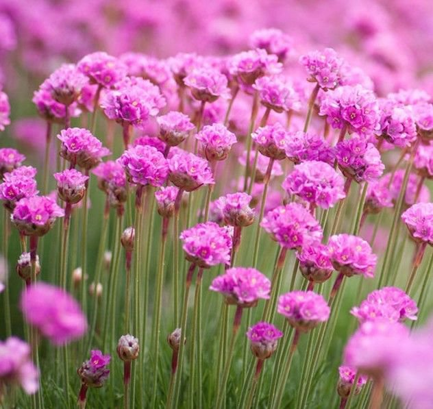 Armeria Maritima Sea Pink 25 seeds * perennial * *SHIPPING FROM US* CombSH B45