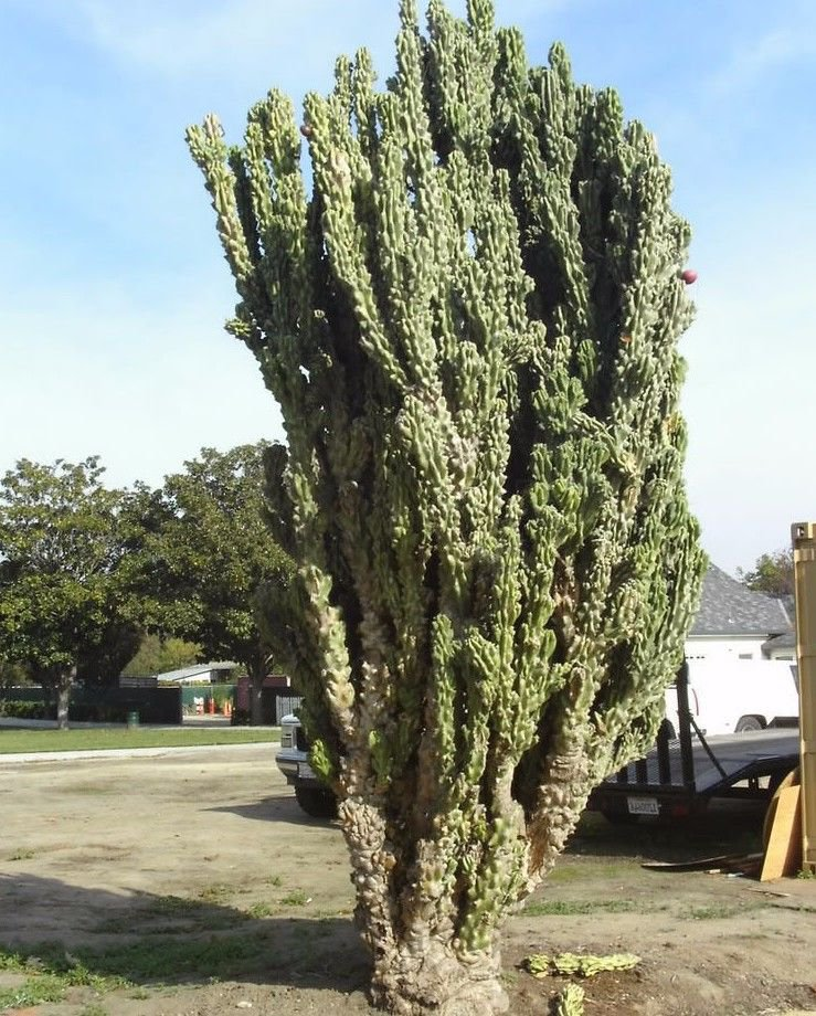 Cereus peruvianus monstrosus 10 seeds * cactus *edible fruit* bizarre *SHIPPING FROM US* CombSH C61