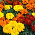 French Marigold mix 250 seeds Tagetes patula * Garden Border * *SHIPPING FROM US* CombSH B85