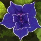 Morning Glory Blue picotee 5 seeds  * Easy Grow * Rare * Gorgeous  *SHIPPING FROM US* CombSH D21