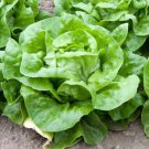 Boston White Lettuce 2000 seeds * Butter head  * NON GMO * *SHIPPING FROM US* CombSH H14