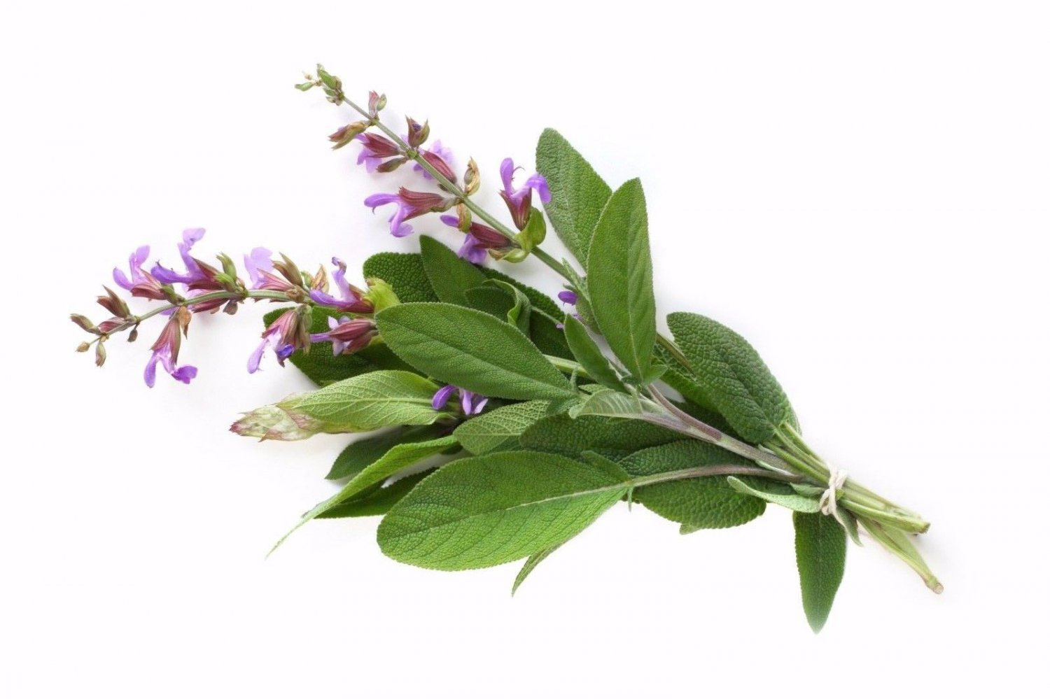 Common Sage 50 seeds Salvia officinalis * herb * ez grow * *SHIPPING FROM US* CombSH D75