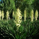 25 + Adams Needle seeds ( Yucca filamentosa ) Ornamental Shrub I77