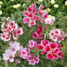 Godetia Dwarf Mix 500 seeds - Clarkia amoena / Farewell-to-Spring * *SHIPPING FROM US* CombSH B46